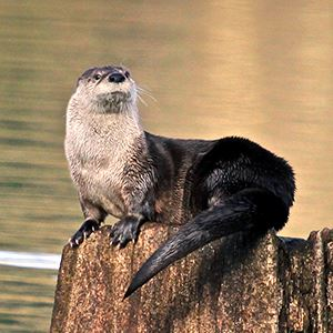 Otter on a log