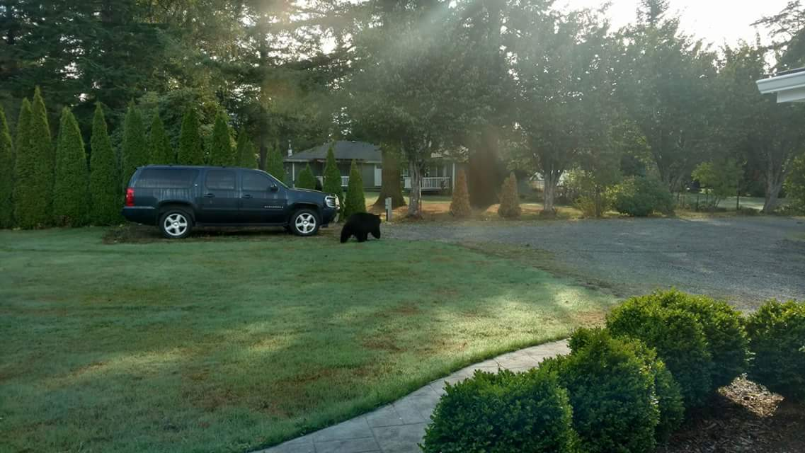 bear sighting near Brookside acres south of new Si View.jpg
