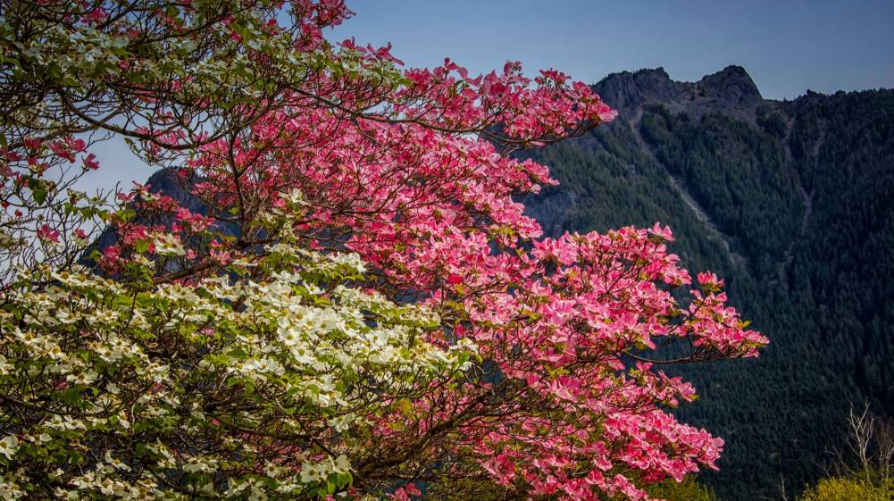 Blossoms on a Dogwood Tree by Don Detrick